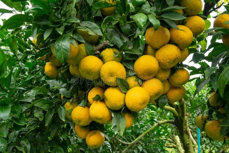 Mandarino sull'albero nel giardino Molto crescita arancio matura sui rami immagine stock libera da diritti