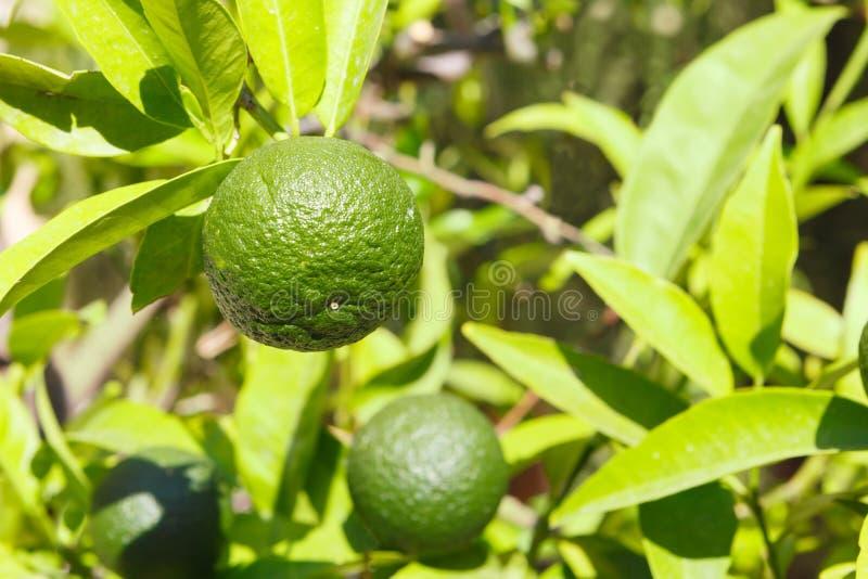 Mandarino verde e non maturo su un ramo nelle circostanze naturali fotografie stock