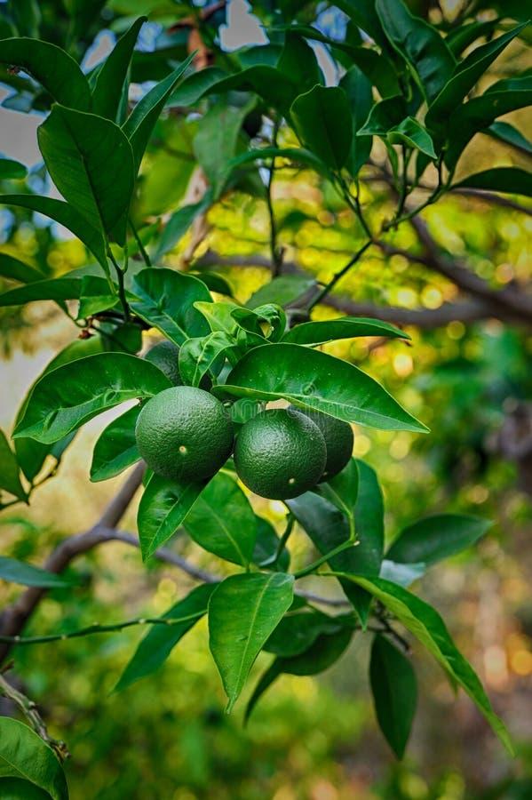 Mandarino verde non maturo sulla pianta immagine stock libera da diritti