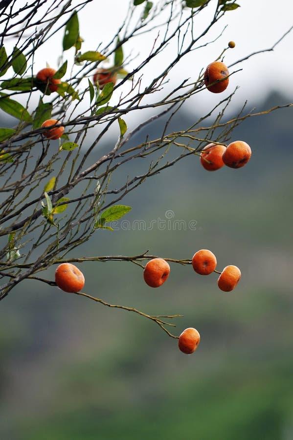 mandarinorange arkivbild