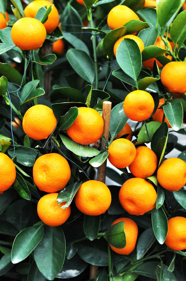 mandarins royaltyfri bild