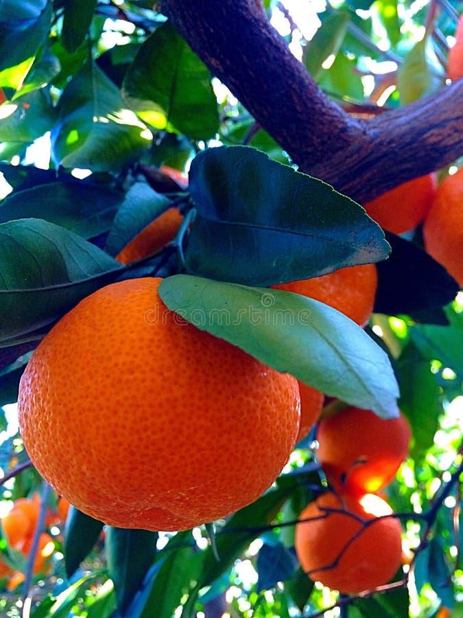 mandarins imagem de stock