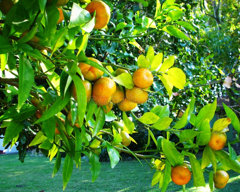 Download Mandarins stock photo. Image of food, branch, growth, crop - 5383132