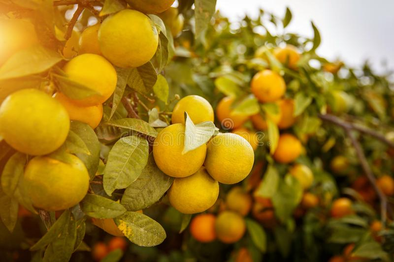 Mandarin oranges which mean Lucky for Chinese people. Mandarins on the tree, Mandarin oranges which mean - Lucky - for Chinese people royalty free stock photos