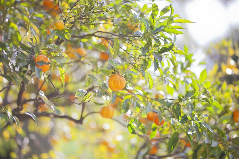 Mandarintr?d med mogna frukter Mandarintr?d Citrustr?d fotografering för bildbyråer