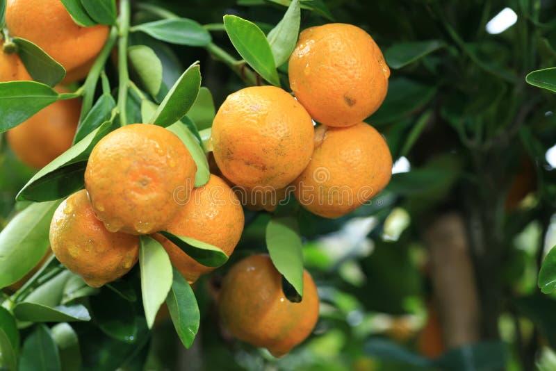 Mandaryn pomarańcze zdjęcie royalty free