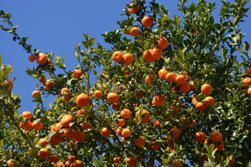 Mandaryn pomarańcze r na drzewie, Hiszpania obraz stock