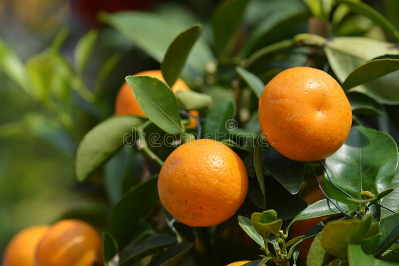 mandarynki pomarańcze zdjęcie stock
