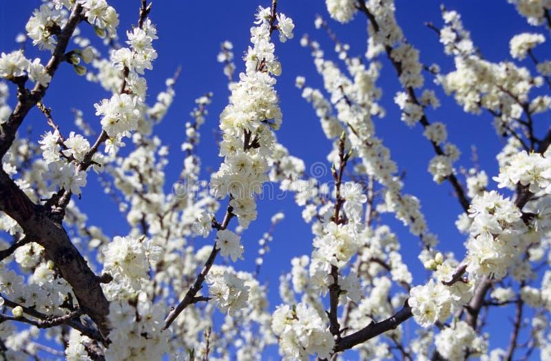 Mandel-Blüten stockbilder