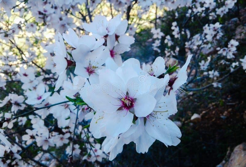 Mandel-Blume stockfoto