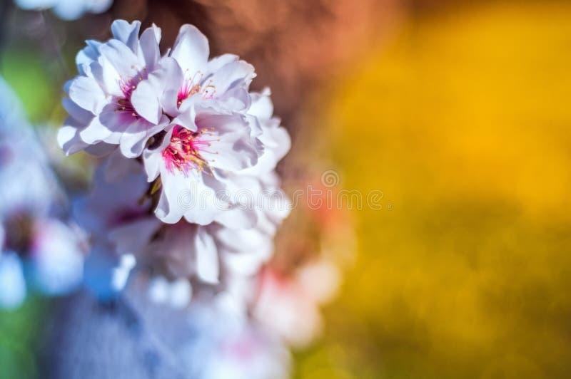 Mandel-Blume stockbild