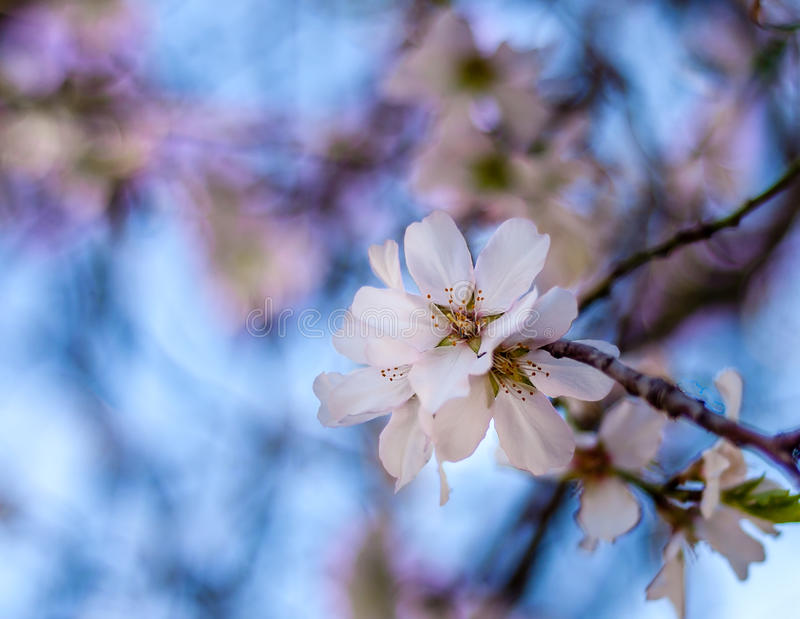 Mandel-Blume lizenzfreie stockfotografie