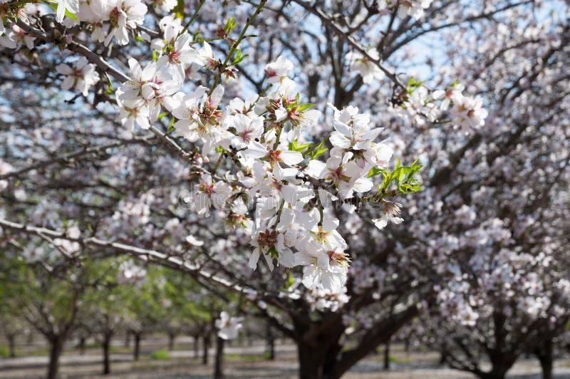 Mandel-Obstgarten, weiße Blumen stockfoto