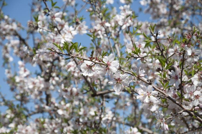 Mandel-Obstgarten, weiße Blumen stockbild