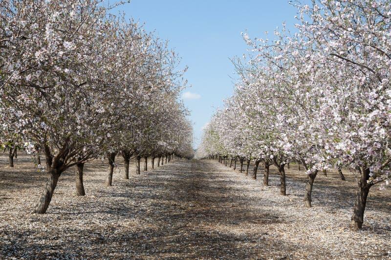 Mandel-Obstgarten, weiße Blumen lizenzfreie stockfotografie