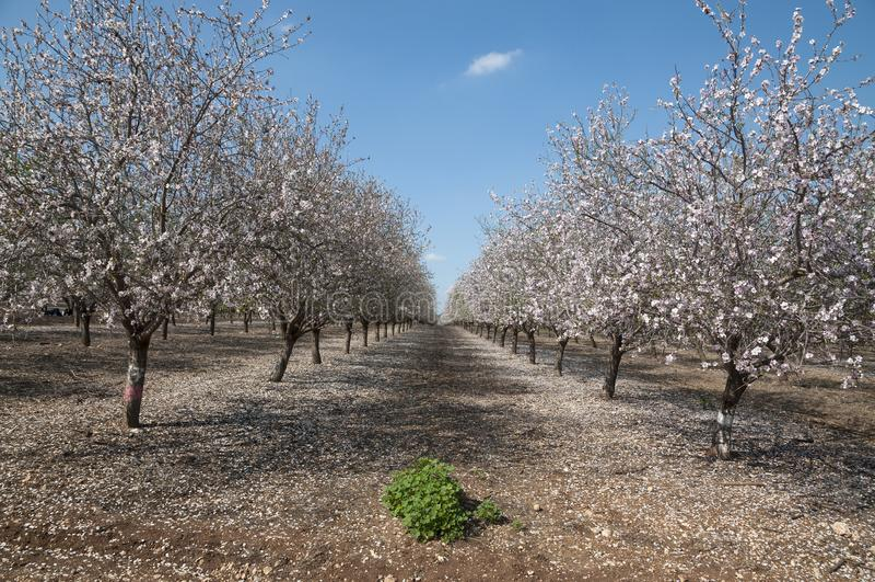 Mandel-Obstgarten, weiße Blumen lizenzfreie stockfotos