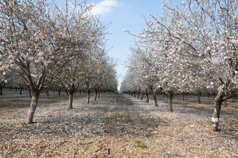 Mandel-Obstgarten, weiße Blumen stockfotos