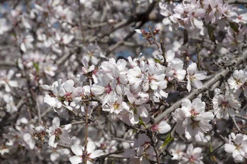 Mandel-Obstgarten, weiße Blumen lizenzfreie stockbilder