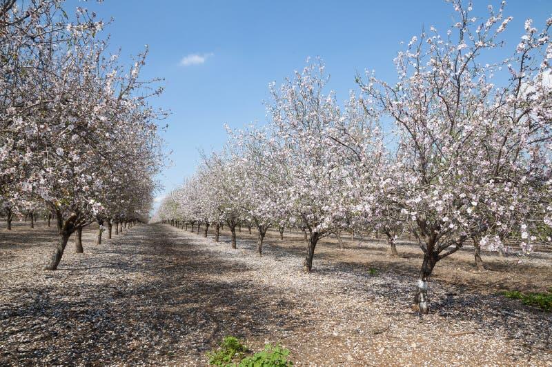 Mandel-Obstgarten, weiße Blumen lizenzfreies stockfoto