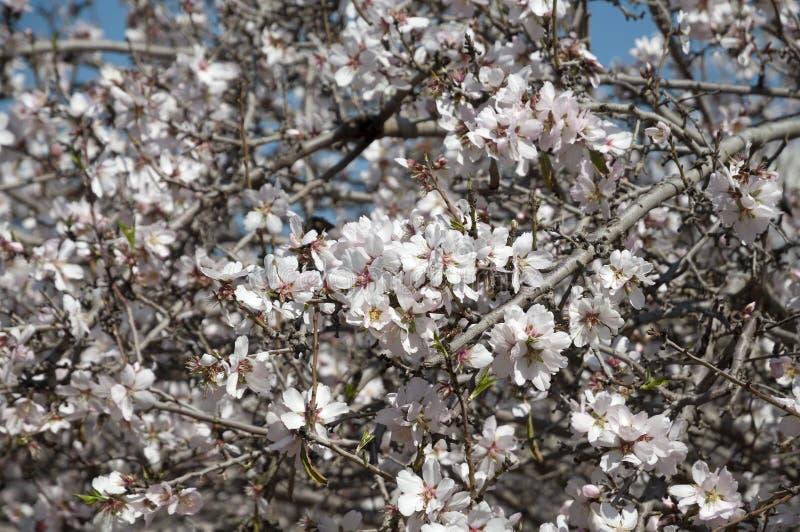 Mandel-Obstgarten, weiße Blumen stockbilder