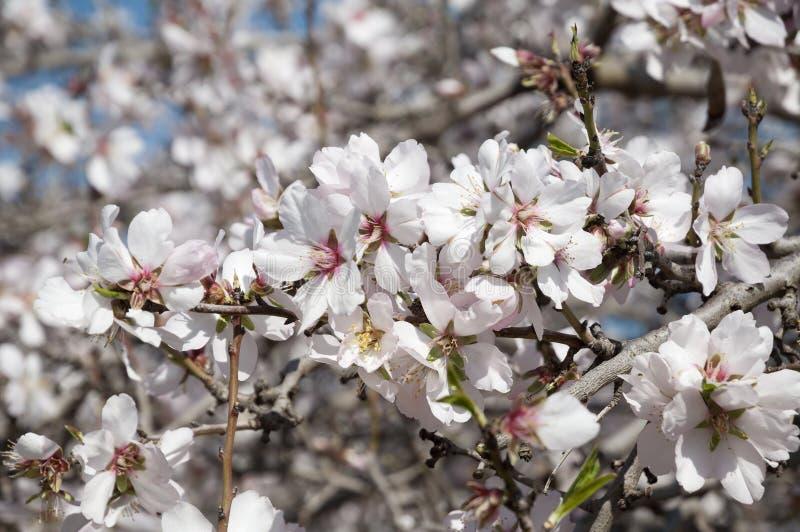 Mandel-Obstgarten, weiße Blumen stockfotografie