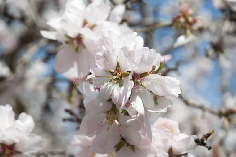 Mandel-Obstgarten, weiße Blumen lizenzfreies stockbild
