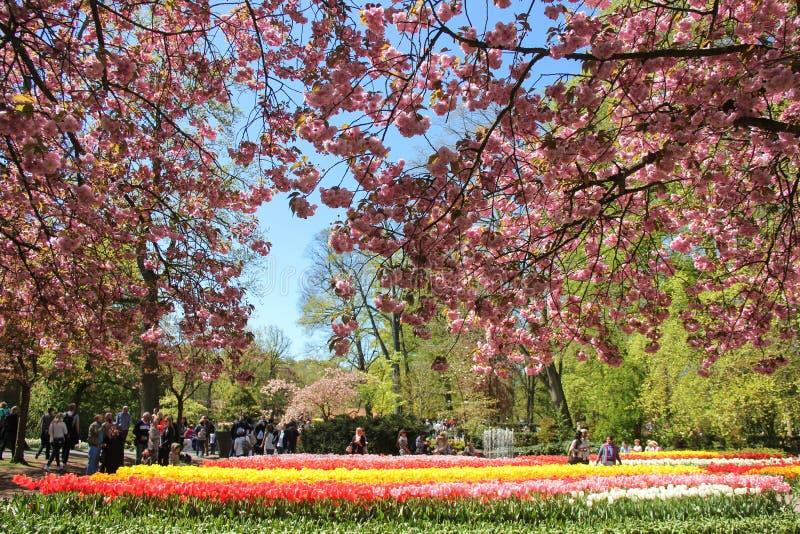 Mandel som blommar trädfilialer över fältet av gula och röda härliga tulpan Turister som in går i vårtid royaltyfri foto