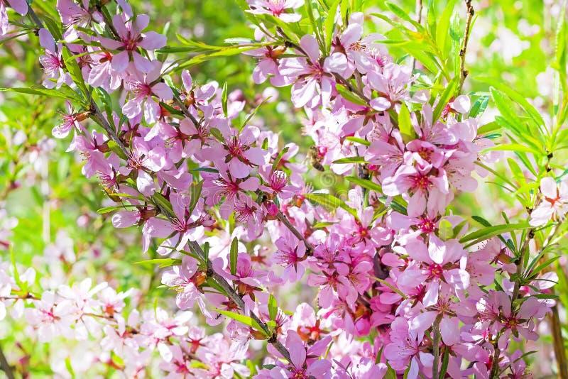 Mandel Steppe des blühenden Strauchs (Prunus tenella Latein) mit rosa Blumen stockbilder