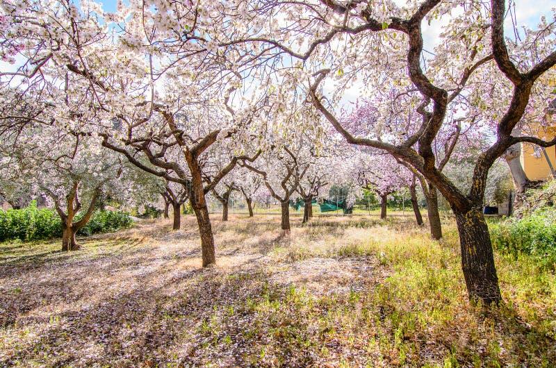 Mandelbäume stockbild