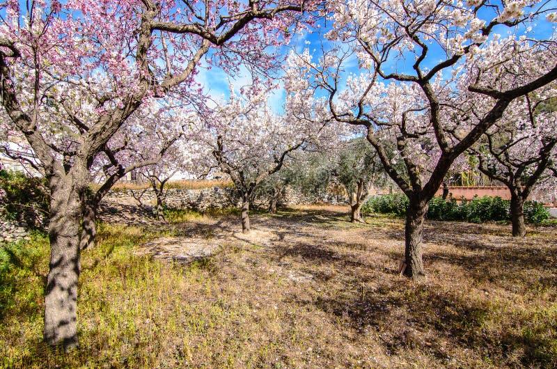 Mandelbäume lizenzfreies stockbild