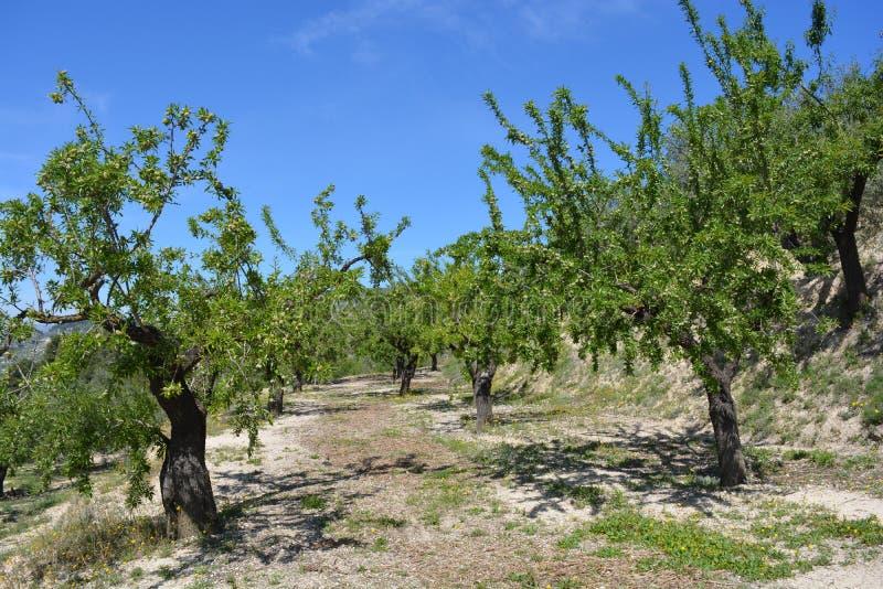 Mandelbäume auf terassenförmig angelegtem Abhang stockbild