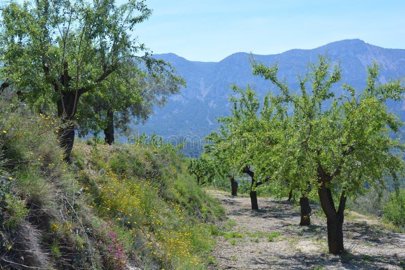 Mandelbäume auf terassenförmig angelegtem Abhang mit wilden Blumen stockfoto