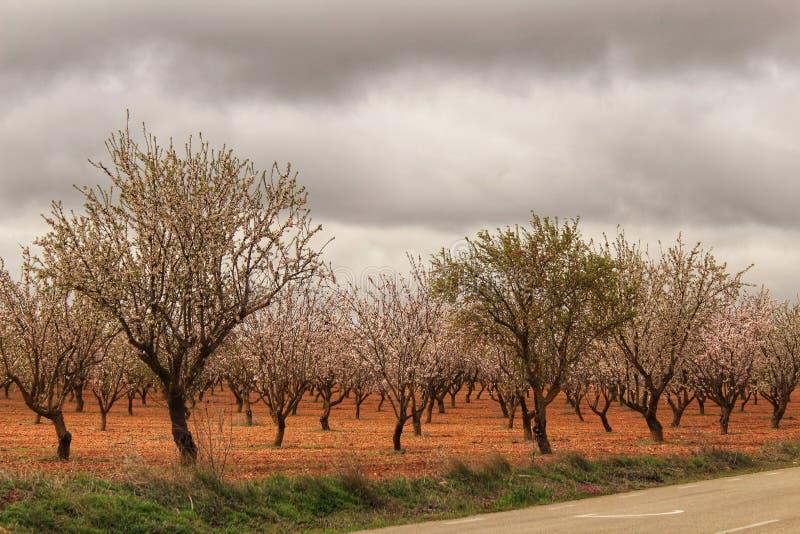 Mandelbäume in der Blüte unter grauem Himmel stockbild