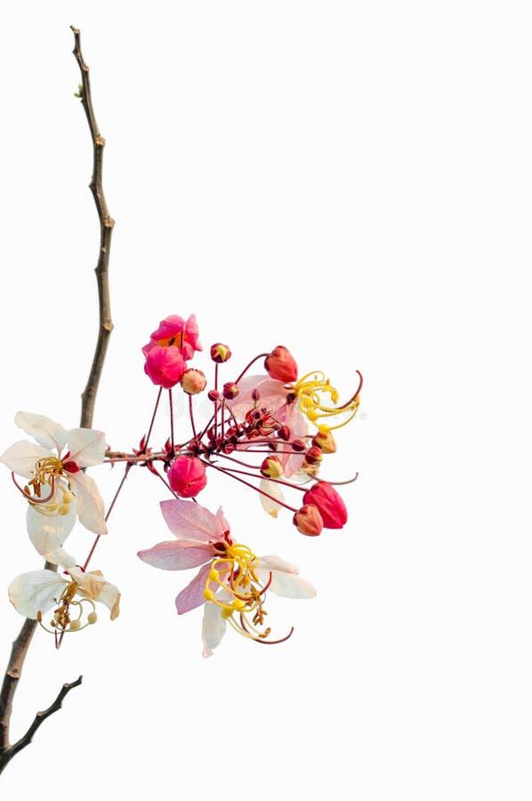 Mandelbäume in voller Blüte stockfotografie