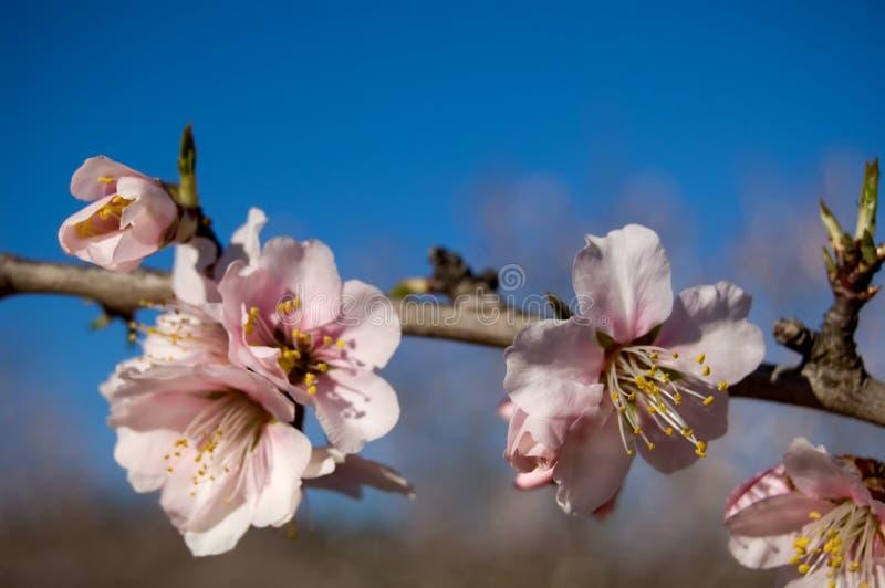 Mandelbaum - breiten Sie sich mit Blumen aus stockbild