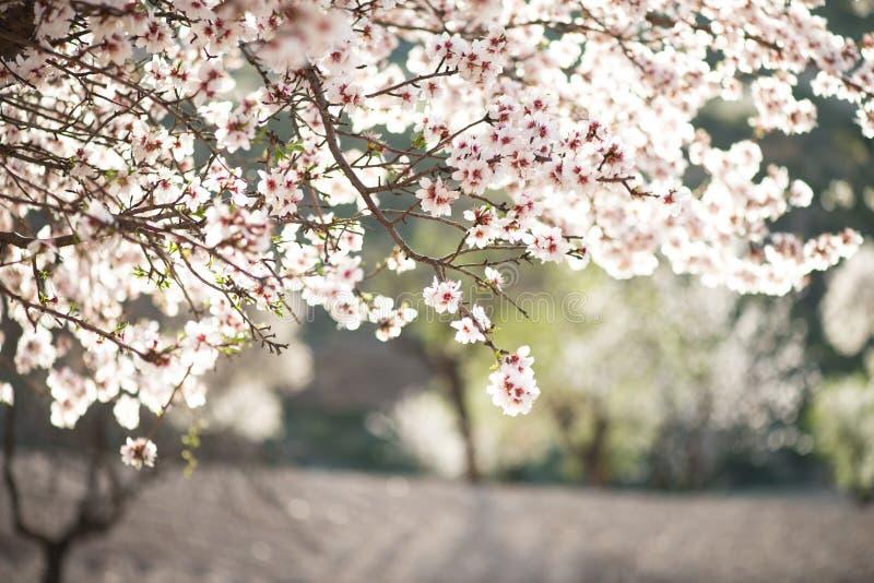 Mandelbaum in der Blüte stockfotos