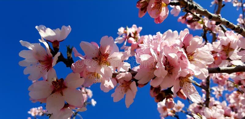 Mandelbaum, der Frühling ankündigt stockbild