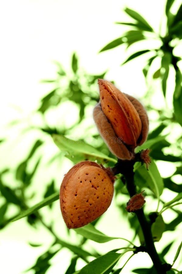 Mandelbaum mit reifen Früchten stockfoto