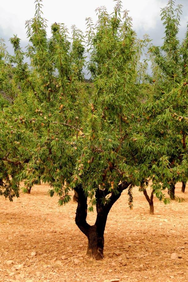 Mandelbaum mit reifen Früchten lizenzfreies stockbild