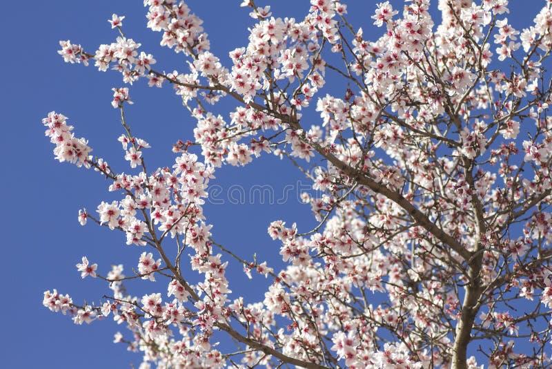 Mandelbaumblühen lizenzfreies stockfoto