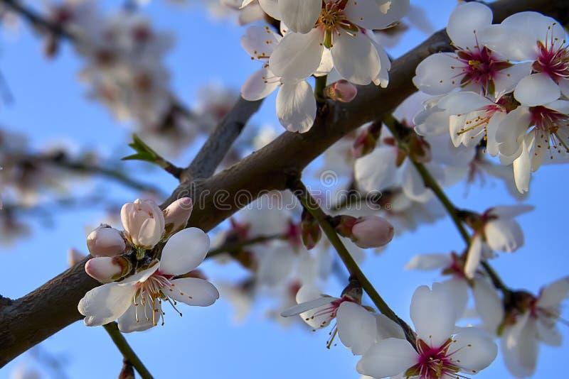 Mandelbaumblüte, Frühjahr im Obstgarten, Naturhintergrund mit blauem Himmel lizenzfreie stockfotos