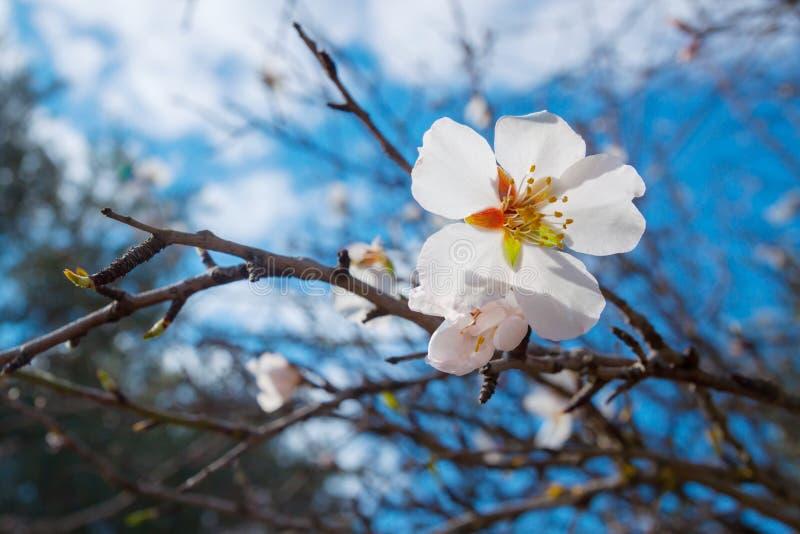 Mandelbaumblüte mit Nahaufnahme der weißen Blumen lizenzfreies stockbild