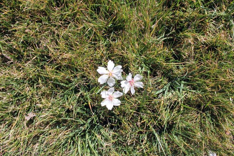 Mandelblüte Im Rasen Weiße Blumen Stockbild - Bild von spanien ...