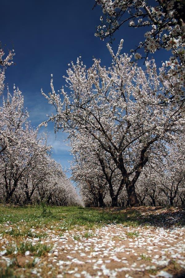 Mandelblomfruktträdgård Arkivfoton