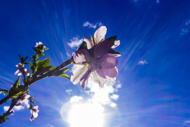 Mandelblomma i solen royaltyfri fotografi