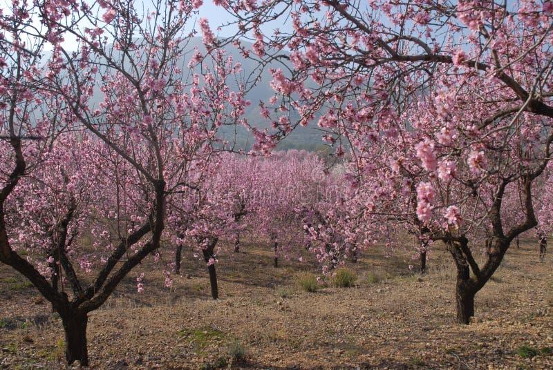 Mandelblomning på trädet på våren arkivbilder