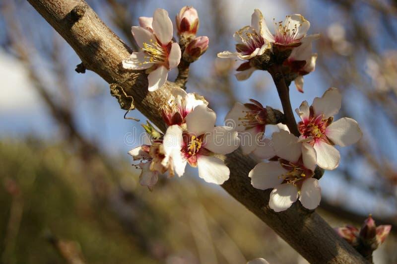 mandelblomningar och knoppar på ett träd royaltyfria bilder