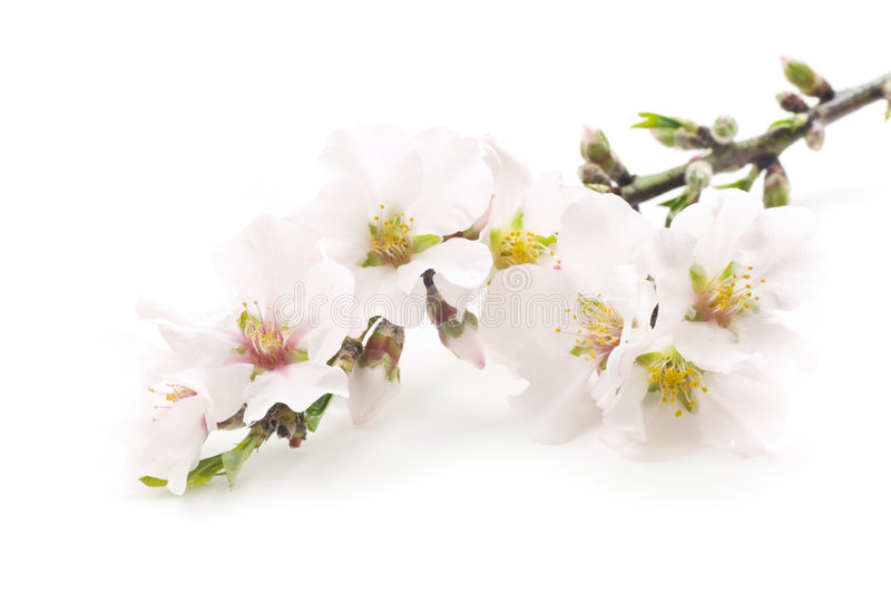 Mandelblumen lizenzfreies stockbild