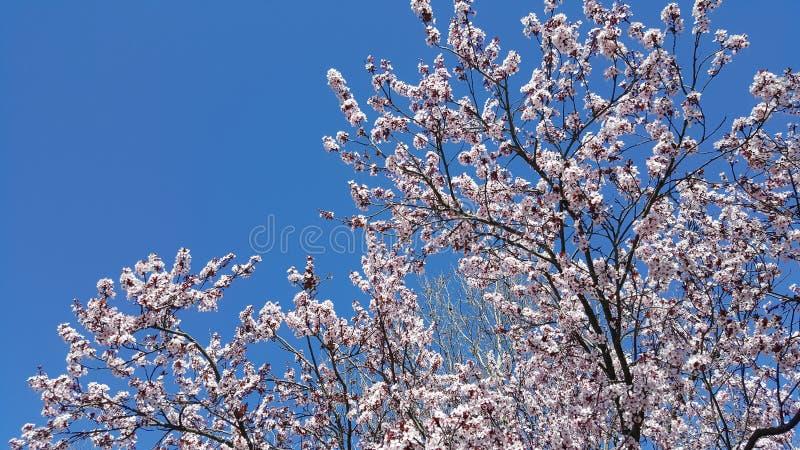 mandelen blomstrar white för tree för Cherryblomningblommor kanske arkivfoto
