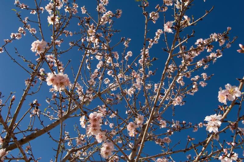 mandelfilialen blommar treen fotografering för bildbyråer